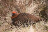 Red Grouse, Glen Quaich, Perth & Kinross