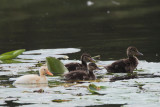 Mallard chicks, Net Bay-Loch Lomond NNR, Clyde