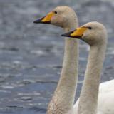 Whooper Swan, Hogganfield Loch, Glasgow