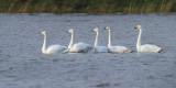 Whooper Swans, Wards Pond-Loch Lomond NNR, Clyde
