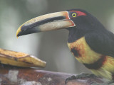 Pale-mandibled (or Collared) Aracari, Los Bancos, Ecuador