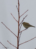Chiffchaff, Burn of Mar-Loch Lomond, Clyde