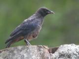 Carrion Crow (juvenile), Auchingyle Burn-Loch Lomond, CLyde