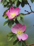 Wild Rose, Loch Lomond, Clyde