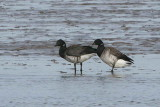 Pale-bellied Brent Geese, Aberlady Bay, Lothian
