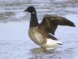 Pale-bellied Brent Goose, Aberlady Bay, Lothian