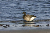 Pale-bellied Brent Goose, Maidens, Ayrshire