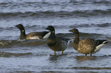 Pale-bellied Brent Geese, Maidens, Ayrshire