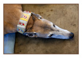 Greyhound in repose