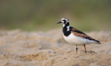 Ruddy Turnstone on the Beach