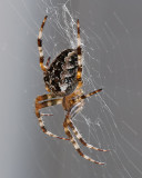 Spider On The Deck With Focus Stacking! Sep 21 '11