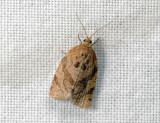 1336   Adoxophyes orana  059.jpg