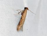 0933   Metzneria neuropterella  087.jpg