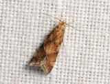 1118   Brachmia blandella  044.jpg
