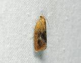 1316   Ptycholoma lecheana  209.jpg