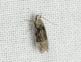 0991   Carpatolechia fugitivella  095.jpg