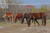 Wild horses of Corolla:  SERIES
