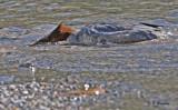 Common merganser:  SERIES