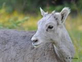Bighorn mountain sheep (juv)