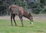 Elk (juv)