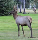 Elk (f)