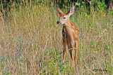 White-tailed Deer (juv)