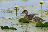 Wood Ducks (juv)