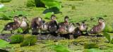 Wood Ducks (juvs)