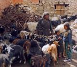 Milking goats, Shey