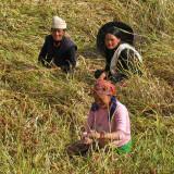 Harvesting millet