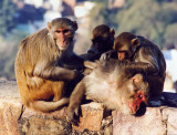 Monkeys, Jhansi