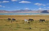 Donkeys, Tso Kar