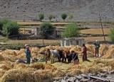 Threshing barley