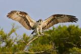 Osprey on Blue Cypress Lake