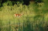 Deer photo by Geoff Brown