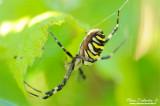 Black-and-Yellow Argiope (Argiope aurantia)