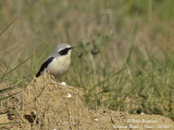 NORTHERN WHEATEAR on its breeding grounds