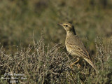 TAWNY PIPIT - ANTHUS CAMPESTRIS - PIPIT ROUSSELINE