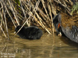 Water Rail adult and chick