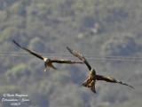 Black Kite - Milvus migrans - Milan noir