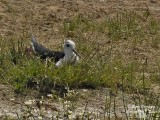 Black-winged Stilt - Himantopus himantopus - Echasse blanche