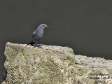 Blue Rock Thrush - Monticola solitarius - Monticole bleu
