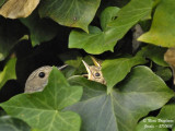 Spotted Flycatcher - nest