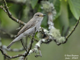 Spotted Flycatcher - adult