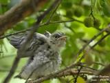 Spotted Flycatcher - juvenile streching
