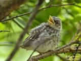 Spotted Flycatcher - juvenile