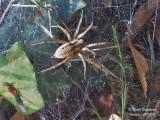 Labyrinth Spider-Agelena labyrinthica-Agélène à labyrinthe