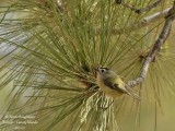 CANARY ISLANDS KINGLET - REGULUS TENERIFFAE - ROITELET DE TENERIFE