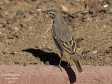BERTHELOT'S PIPIT - ANTHUS BERTHELOTTI - PIPIT DE BERTHELOT