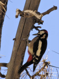 TENERIFFA'S GREAT SPOTTED WOODPECKER - DENDROCOPOS MAJOR CANARIENSIS - PIC EPEICHE DE TENERIFE
